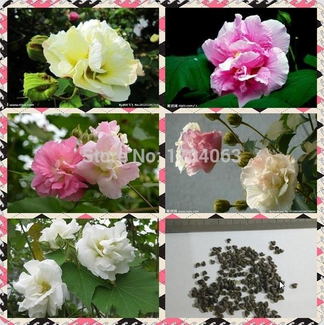 1100pcs Wholesale 100 Authentic Hibiscus Mutabilis Seeds Flower
