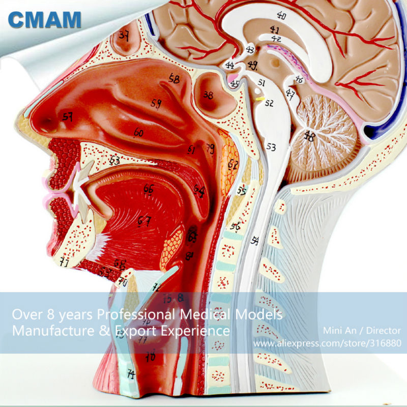 CMAM-BRAIN05 Half of Head Section Model with Vessels,  Full Life Size, Anatomy Models > Brain Models economic half head with vessels model anatomical head model with brain nerves vascular muscles and vessels