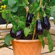 100 pcs/bag purple eggplant seeds,bonsai Organic seeds vegetables,Balcony or courtyard potted plant Edible food seeds for garden(China)