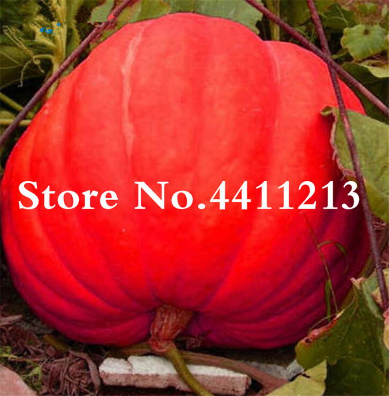 Home & Garden Strict 20pcs Delicious Chayote Bonsai Vegetable Garden Bonsai High-nutrition Pumpkin Perennial Health Vegetables Plants For Garden Garden Supplies