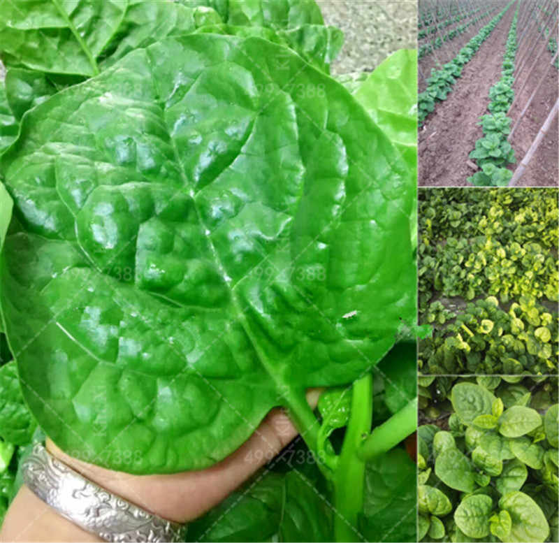 200Pcs Heirloom Green Malabar Spinach Bonsai DElicious Vegetable Pots Spinach Salad Leaves Good Taste Non-GMO Home Garden Plant