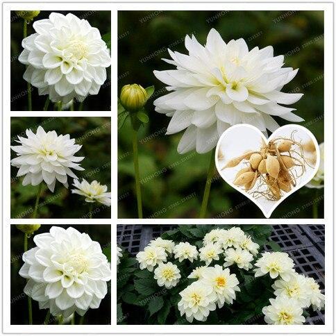 2 Bulb True White Dahlia Bulbs Flower,Bonsai Flower Bulb,Symbolizes Courage And Lucky,Home Garden Plant-(Not Dahlia Seeds)
