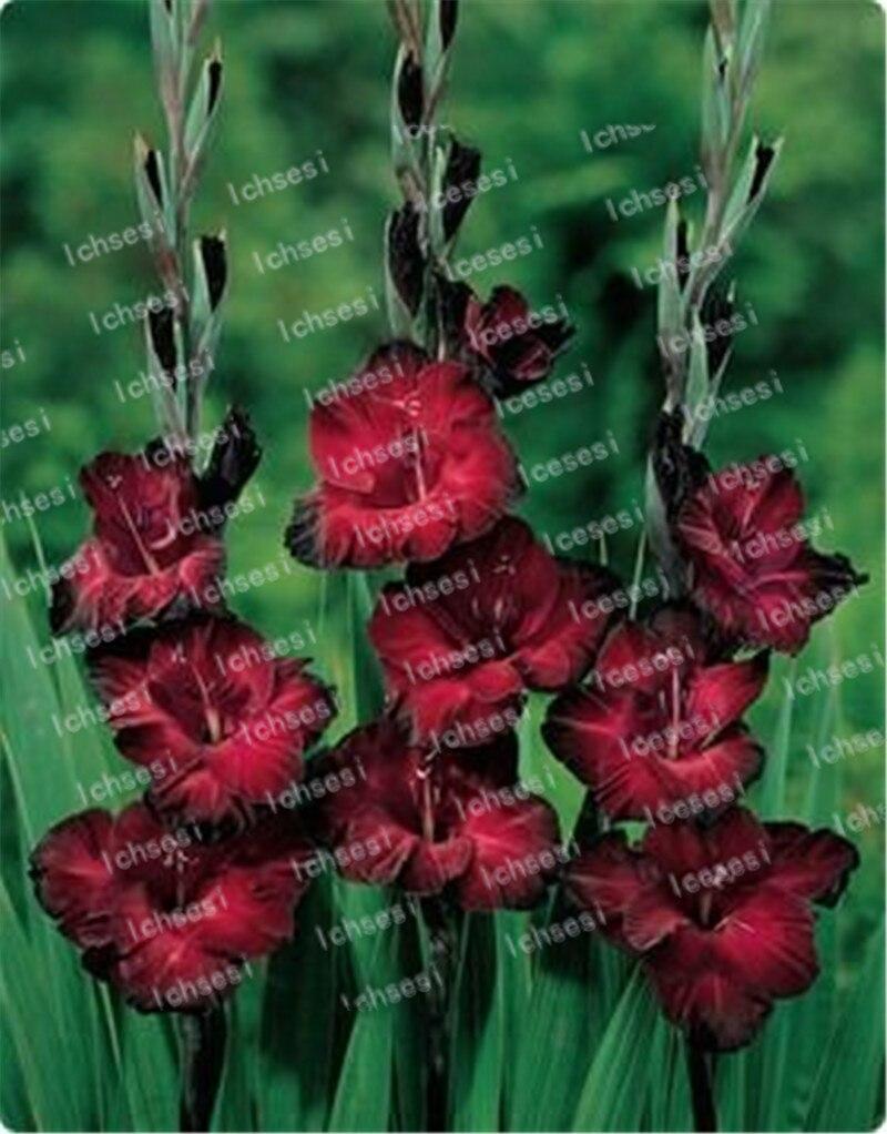 100pcs Different Perennial Gladiolus Flower bonsais Rare Sword Lily bonsais very beautoful for home garden planting in Bonsai from Home Garden