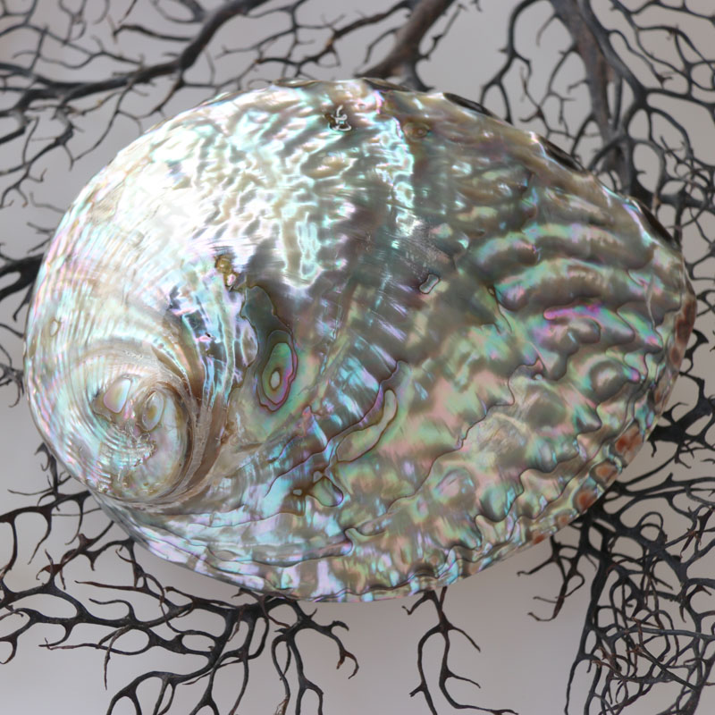 Free Shipping 2pcs lot Australian Abalone Shell Natural Shell Conch Home Decoration Sea Beach Wedding Landscape