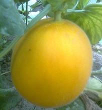 1 original pack 15pcs Fruit Seeds Golden Yellow Cantaloupe Seeds Mature Flowering 80 days free shipping