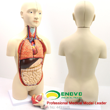 ENOVO Anatomical model of male and female organs of middle - sized medical human organs 12471 cmam anatomy33 human male reproductive system anatomical model for medical science