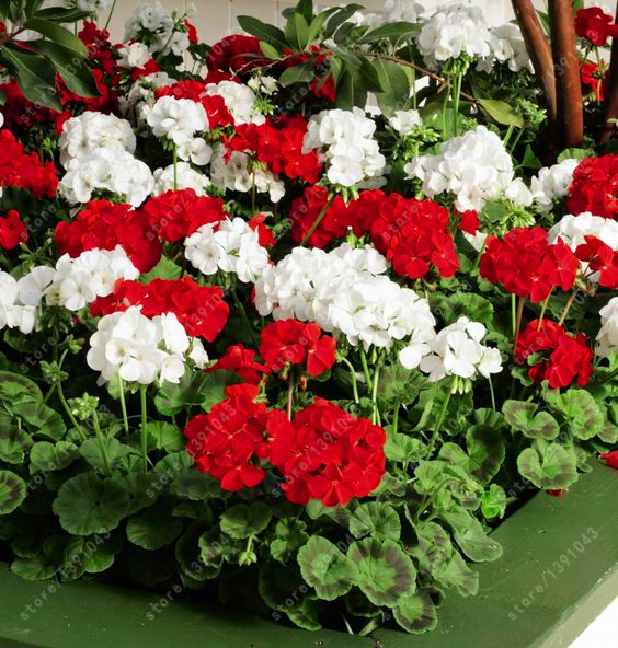 ахименесы ризомы комнатные цветыахименесы ризомы к заказать на aliexpress