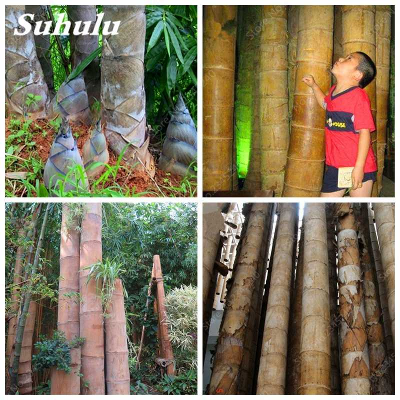 20 pcs / bag Huge Dragon Bamboo Giant Bambu Tree Outdoor Bonsai Potted Novel Bambusa Lako Plant for Home Garden Planting