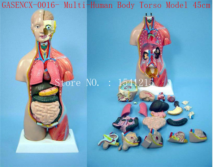 Human anatomy model Teaching Medical 45cm Multi-Human Body Torso Model-GASENCX-0016 42cm male 13 torso model torso anatomical model of medical biological teaching aids equipment