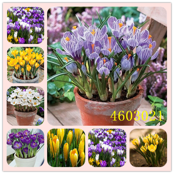 New 2019! Loss Promotion!! 100 Pcs Saffron Plants Saffron Crocus Floresling Garden Flowers Plant Easy To Grow, Free Delivery