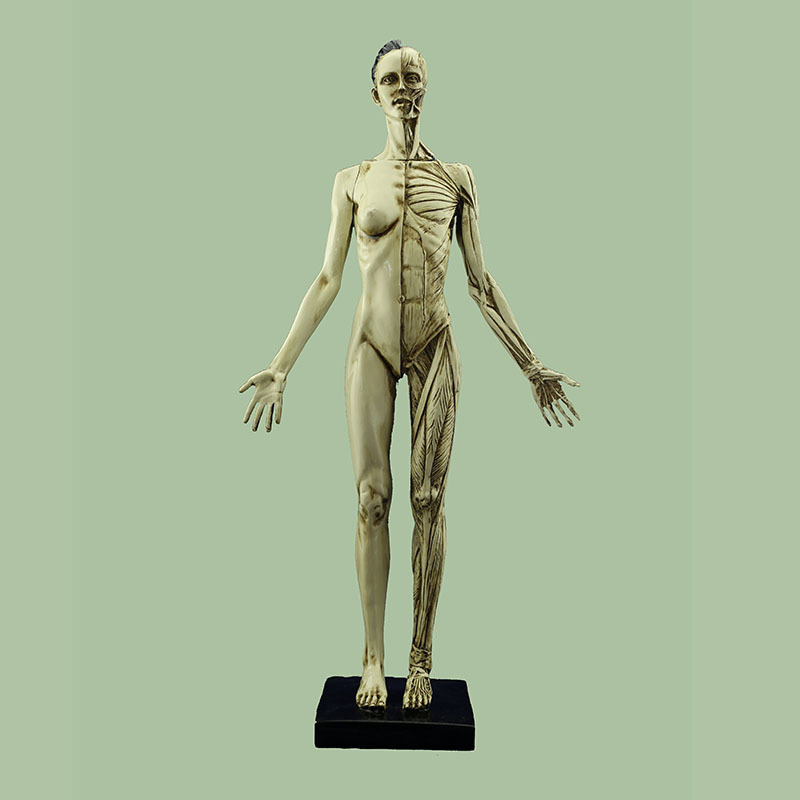 45cm Medical Female Body Model Human Art Muscle and Bone Anatomical Structure Model Female 9.6*21.3*43cm human anatomical male genital urinary pelvic system dissect medical organ model school hospital