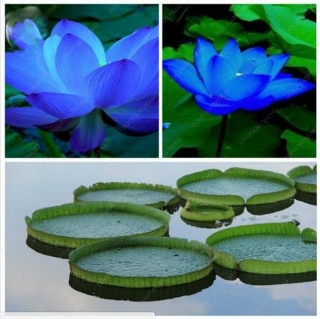 10 blue lotus flower seeds rare color perfect yard plant beautiful 10 blue lotus flower seeds rare color perfect yard plant beautiful chinse water lily bonsai seed mightylinksfo Image collections