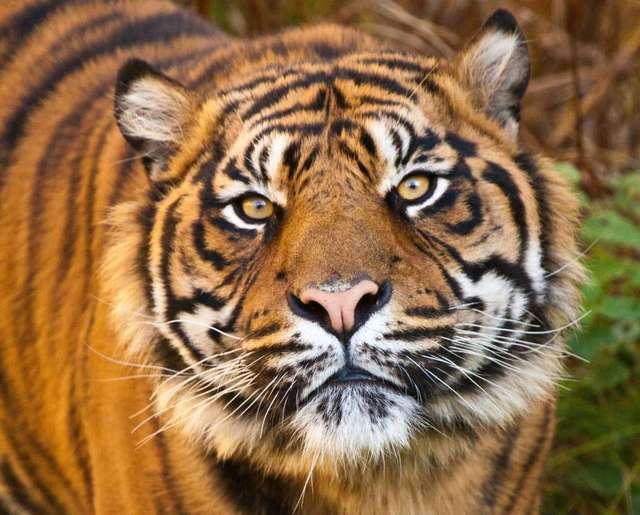 Animals Canvas Arts Painting Face Eyes Predator Tigers