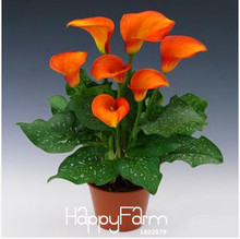 Sale!Calla lily seed imported from Holland, calla lily seedlings – 50 PCS/Pack,#CYW15M