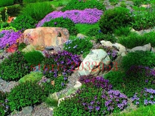 bonsai 100 rock cress AUBRIETA FLOWER Evergreen Perennial Deer Resistant flower for home garden in Bonsai from Home Garden