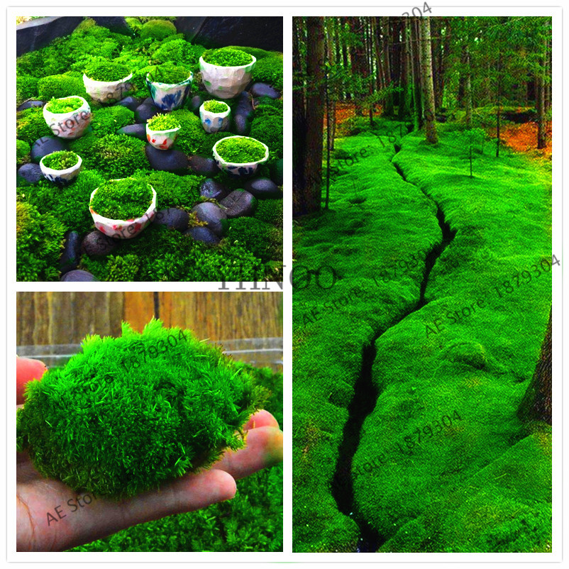 100 pcs green moss seeds rare moss seedspotted plant ornamentalplant for home gardencute potted plant & Moss Roofs Promotion-Shop for Promotional Moss Roofs on Aliexpress.com memphite.com