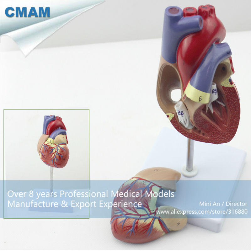 12479 CMAM-HEART03 Full Life-size Human Adult Heart Anatomy Model, 2 Parts, Anatomy Models > Heart Models, EUB free shipping 12479 cmam heart03 full life size human adult heart anatomy model 2 parts anatomy models heart models