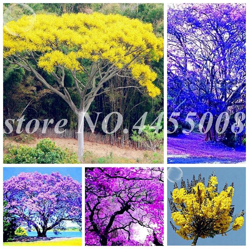 50 Pcs Rare Jacaranda Mimosifolia Tree Bonsai Tree Jacaranda Flower Plants In The Garden Evergreen Shrubs Potted Tree Plants
