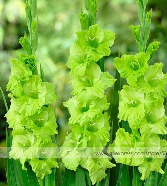 200pcs Gladiolus seeds, gladiolus flower seeds, 95% germination, DIY Aerobic potted plants, rare sword lily seeds,