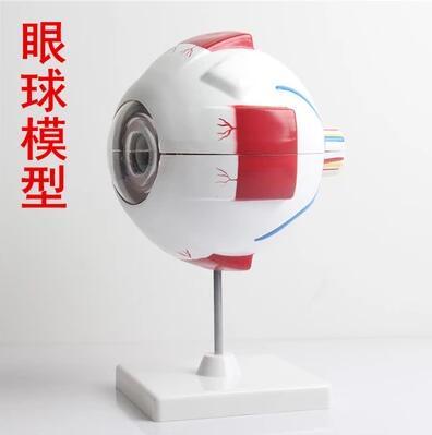 Human eye model eye enlargement model eye anatomy model human eye teaching model medicine цена