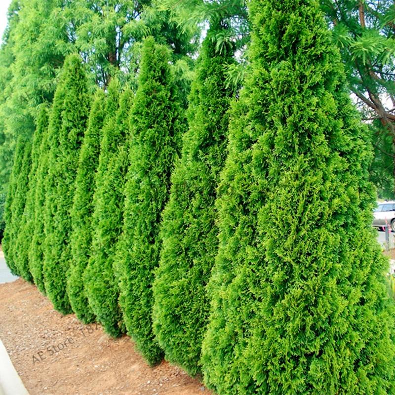 100pcs/bag Microbiota Decussata Siberian Carpet Cypress Arborvitae Flores Tree Bonsai Plant DIY Home Garden Free Ship