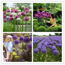 100/bag Giant Allium Giganteum Beautiful Flower for DIY home  Garden kid love gift beauty your courtyard цена 2017