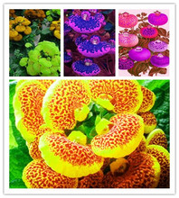 lovely  Calceolaria Bonsai Dicentra Spectabilis Rare Flower for Home Garden Beautiful Plants Easy Planting 50pcs