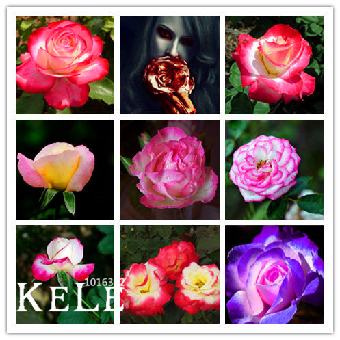 Big Promotion!White Heart Pink Side Rose Seeds 24 Colors Plants Potted Rose Rare Flower Seeds Balcony 50 Seed/Lot,#73YK41