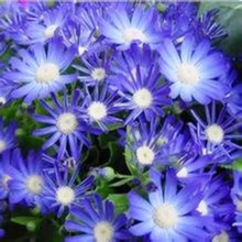 Free Shipping 50 Blue Daisy,Blue Cineraria easiest growing flower,hardy plants flower seeds exotic ornamental flowers