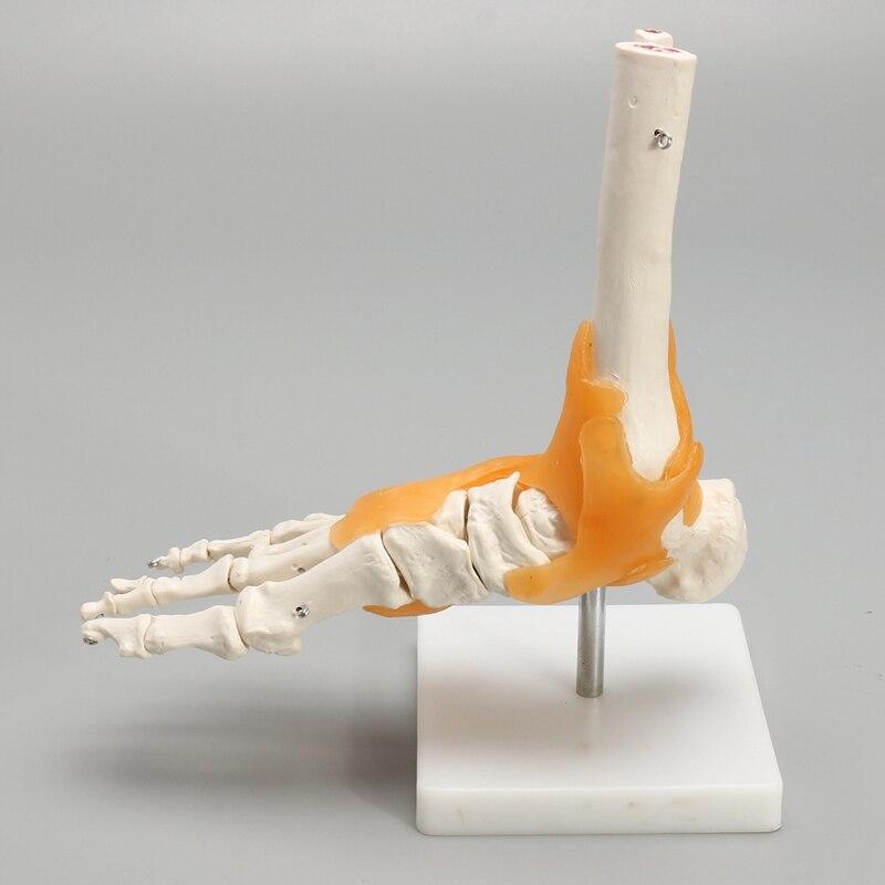 KiWarm 1:1 Menschliches Skelett Bänder Fuß Sprunggelenk Anatomie ...