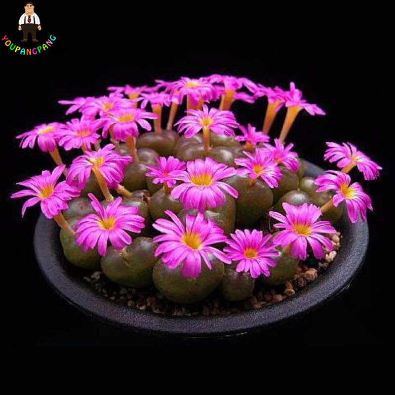 200 قطع اليابانية العصارة النباتات النادرة داخلي زهرة مصغرة الصبار النباتات Fleshier مصنع مضلع النباتات زهرة الساخن بيع