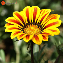New Arrivals 100pcs / bag  Red Yellow Gazania Seed Perennial Flowering Plants Potted Flowers Chrysanthemum Seeds DIY Home Garden
