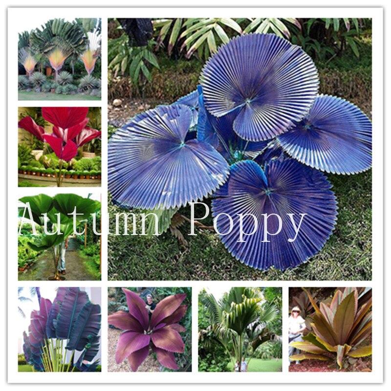 Garden Pots & Planters Home & Garden 10pcs Palm Tree Blue Big Leaf Plam Exotic Plants Bonsai Tree Tropical Ornamental Plant Pot For Home Garden Flowers 100% Original