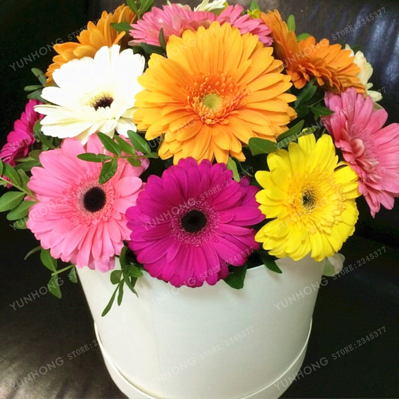 100 pcs gerbera seed indoor bonsai plant flower seeds family perennial garden chrysanthemum easy. Black Bedroom Furniture Sets. Home Design Ideas