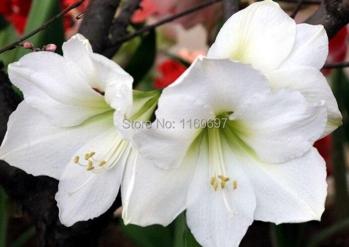 Home U0026garden White 2bulbs Big Flower Bulbs Amaryllis Sementes De Flores  Amaryllis Bulbs Semillas Casa A