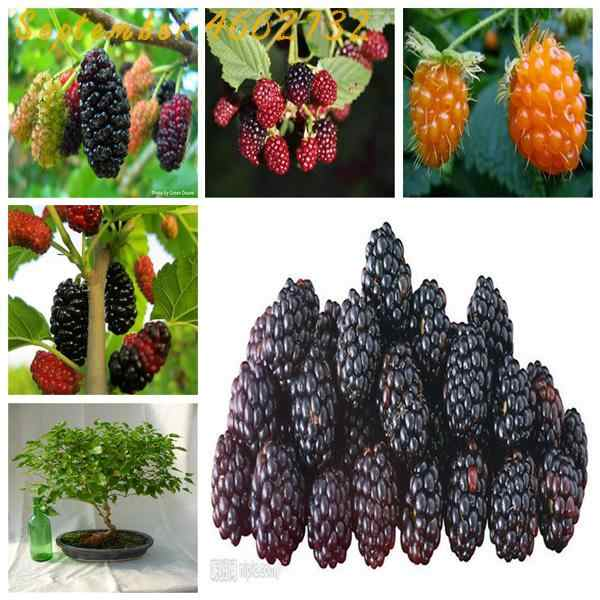 Dijual Hot 100 Pcs Manis Berry Hitam Raksasa BlackBerry Pusaka BlackBerry Bonsai Triple Crown BlackBerry Black Out
