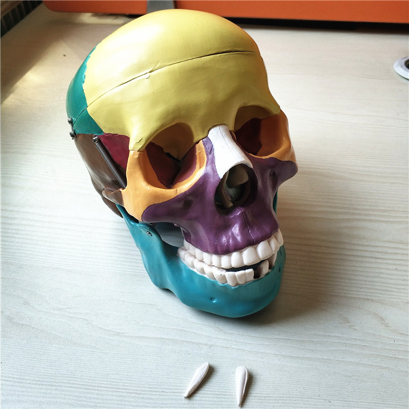 Life Size Skull Model With Colored BIX A1007A