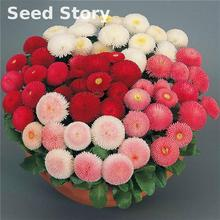 A Packing 100 Rainbow Pink English Daisy Seeds Perennial Cut-flowers Diy Home Garden Plant Sementes And Indoor Plants Flowers