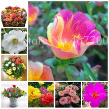 Sales 100 Pcs Mixed Color Moss-Rose Purslane Double Flower Bonsai For Planting (Portulaca Grandiflora)Heat Tolerant Easy Growing(China)