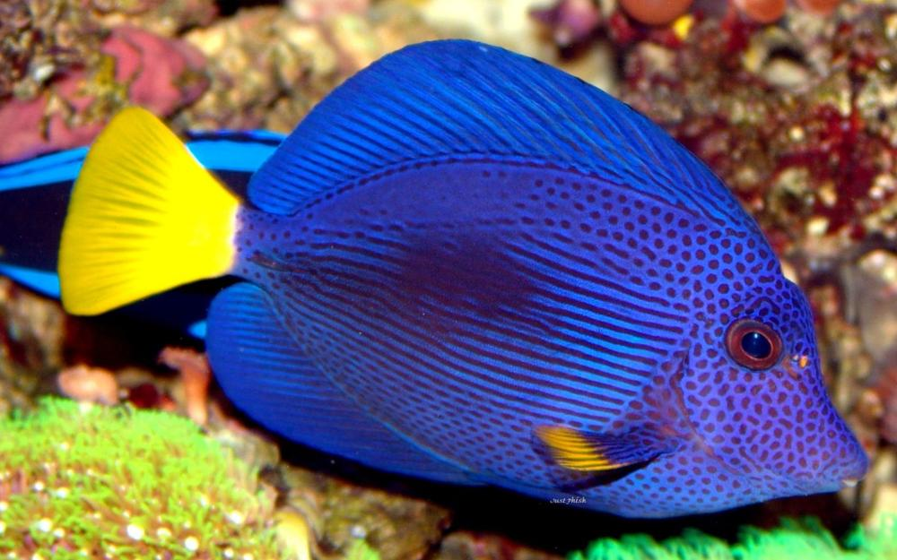 Online buy wholesale blue tang fish from china blue tang for Blue tang fish price