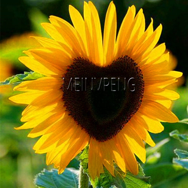 Time-Limit!!40 PCS Rare Red Sunflower Seeds Organic Red Fortune Helianthus Annuus Seeds for Gardening Ornamental Flowers,#GDZRCO