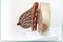 Lactating Breasts Anatomical Model,Female Breast Model,Breast Anatomy Teaching Model