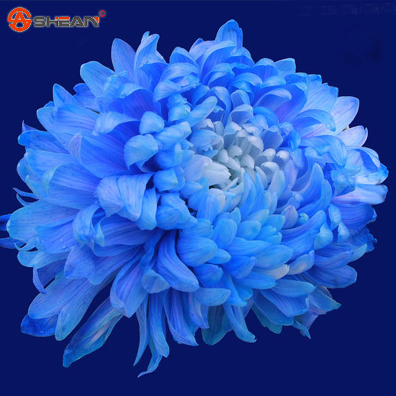 Popular Blue Chrysanthemum Flowers-Buy Cheap Blue ...