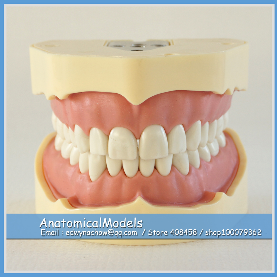 ED-DH105 Wholesale BF Type Study Dental Model, Medical Science Educational Teaching Anatomical Models dh305 human clear mixed age model dental model medical science educational teaching anatomical models