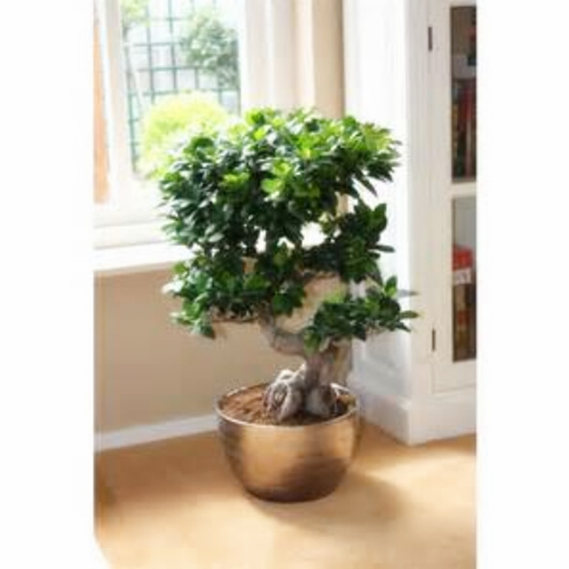ficus bonsai promotion shop for promotional ficus bonsai on. Black Bedroom Furniture Sets. Home Design Ideas