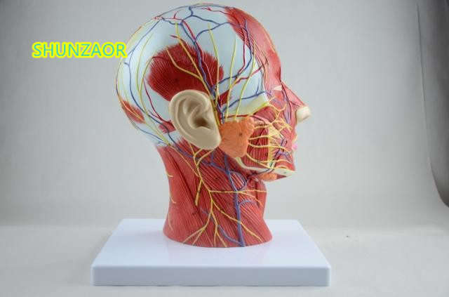 SHUNZAOR Mänsklig skalle med muskel- och nervblodkärl, - Skola och pedagogiska förnödenheter - Foto 2