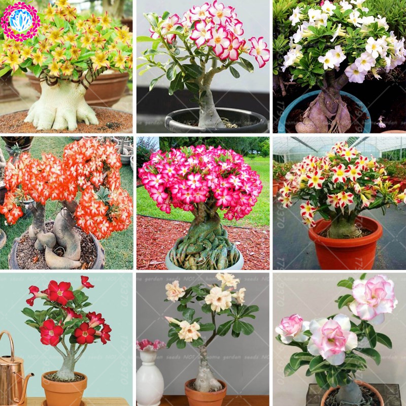 100% true Mixed color Adenium Obesum seeds quality Pretty fresh Desert Rose seed Rare Bonsai flower Seeds for home garden plant ...