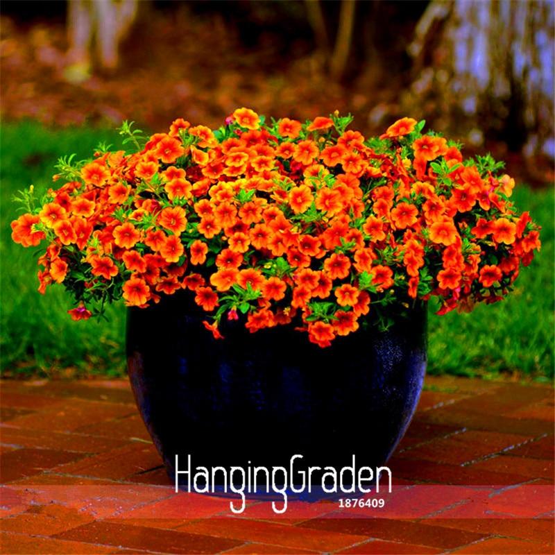 Nueva llegada! calibrachoa kabloom anhelan puesta vigoroso envío-floración  anual Petunia semillas 549e76dbe12