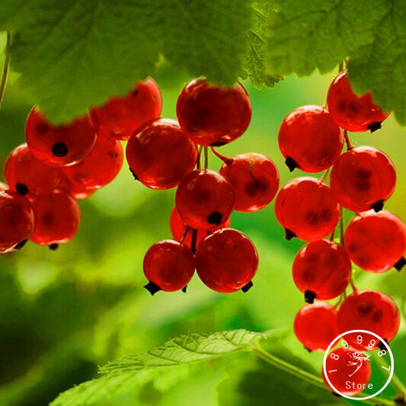 Новая свежая красная смородина фруктовый завод Пан-американский крыжовник бонсай фонарь фруктовый семена садовые da fruta-5 шт./пакет, # KG9SGV