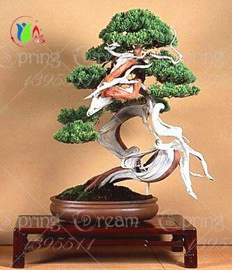 30pcs/bag Japanese pine tree seeds,bonsai  Pinus thunbergii seeds free shipping